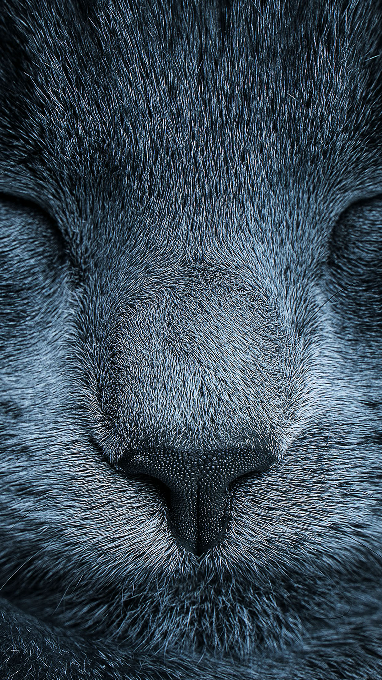 Sleeping Blue Cat Zoom Nature Android Wallpaper